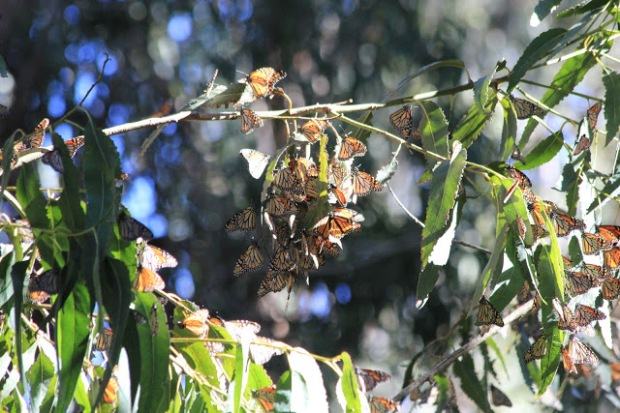 Goleta Butterfly Grove