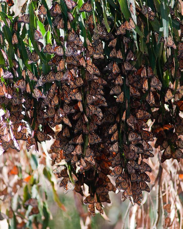 Monarch Butterfly :: Ellwood Preserve