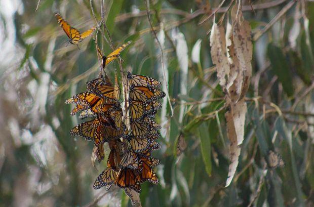 Monarch butterflies-Elwood-Goleta-Santa Barbara