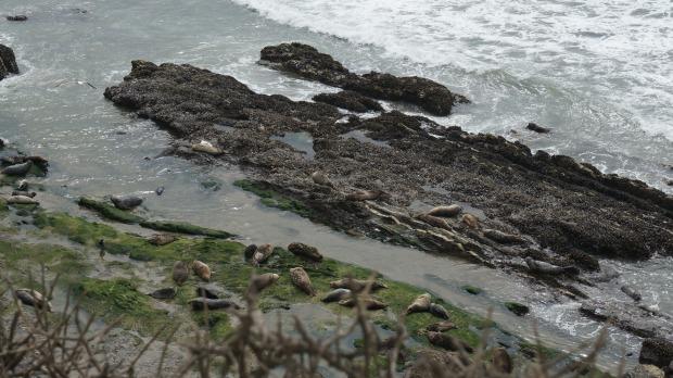 harbor seals // carpinteria